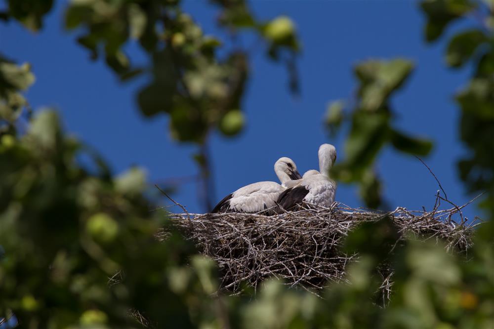 Gniazdo bociana białego, tereny gminy Chełm